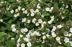 Dünenrose (Rosa pimpinellifolia), Texel