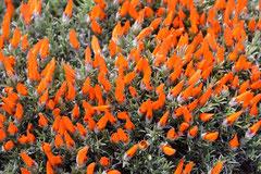 Mata guanaco, Anarthrophyllum desiteratum