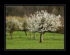 Kirschbäume, Lausen BL