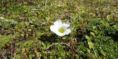 Pale Maiden (Olsynium filifolium)