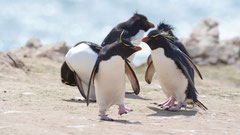 Felsenpinguin / Rockhopper Penguin