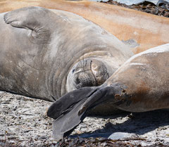 See-Elefant / Elephant Seal