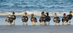 Dampfschiffenten / Steamer Ducks