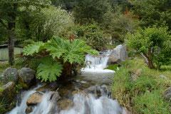 Nalcas oder Pangue, Gunnera tinctoria
