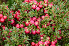 Calafate-Beeren (Berberis microphylla)