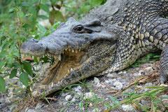 Kubakrokodil (Crocodylus rhombifer)
