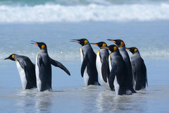 Königspinguine / King Penguins