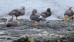Dampfschiffente / Steamer Duck