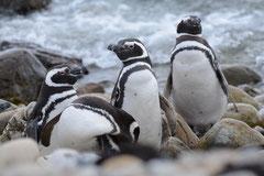 Magellanpinguin / Magellanic Penguin