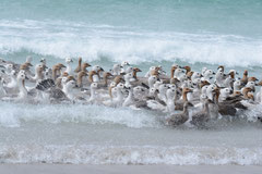 Magellangans / Magellan Goose