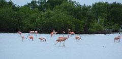 Kuba-Flamingo (Phoenicopterus ruber), Laguna Salinas