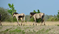 Dülmener Wildpferd (Equus caballus)