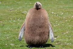Junger Königspinguin