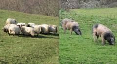 Elevages de brebis et de truies au Pays-Basque