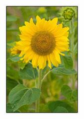 Bildnr. 222 / Sonnenblume