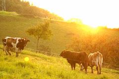 Bildnr. 205 / Kühe im Abendlicht