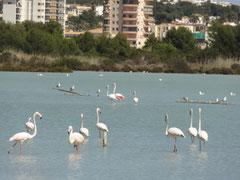 Flamingikollonie bei den Salinen in Calpe
