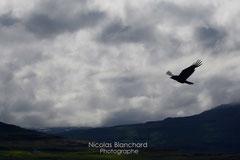 Grand corbeau, dans la baie de Sudavik