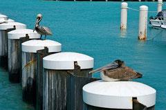 Pelikane.
