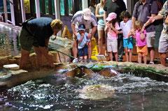 Fischfütterung - die Rochen scheinen sehr hungrig zu sein...