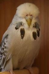 Jungvogelschau | Schaugruppensieger Zimt Opalin