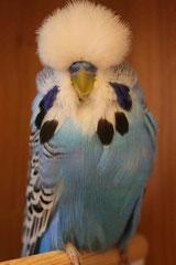 Jungvogelschau | Schausieger und Schaugruppensieger Dunkelfarben