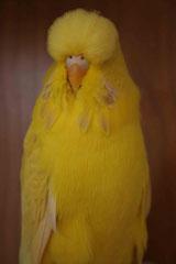 Bundesschau   Klassensieger Lacewing Gelb