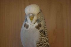 Jungvogelschau | Schaugruppensieger Zimt