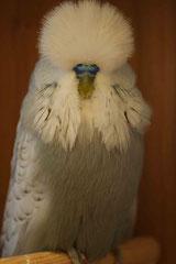 Jungvogelschau | Schaugruppensieger Spangle