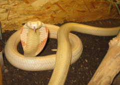 Monokelkobra / NAJA KAOUTHIA (Albino)