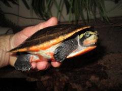 Rote Spitzkopfschildkröte / EMYDURA SUBGLOBOSA