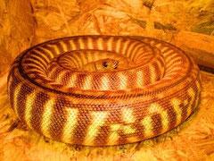 Woma-Python / ASPIDITES RAMSAYI