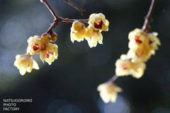 京都府立植物園にて ロウバイの花
