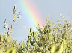 原種ホホバと虹