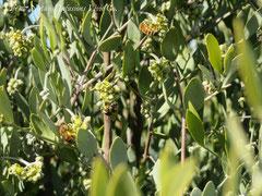 原種ホホバと蜜蜂