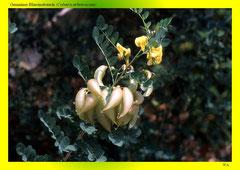 Gemeiner Blasenstrauch (Colutea arborescens)