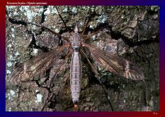Riesenschnake (Tipula maxima)