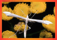 Schlehengeistchen (?Pterophorus pentadactylus)