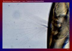 Büschelmücke (Chaoborus spec.), Larve, Fiederborsten (Schwimmhilfen)