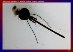 Stechmücke (Aedes spec.), ♀, Kopf mit Antennen, Taster und Stechrüssel-ca. 20x