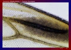 Haarmücke (Dilophus febrilis),♀ , Flügelmal (Pterostigma)-ca. 70x