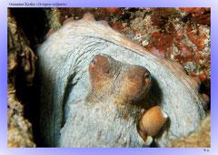 Gemeine Krake (Octopus vulgaris)