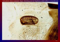 Gelbrandkäfer (Dytiscus marginalis), Stigma, (Einrichtung unter den Flügeldecken, enthält Luftblase als Atemluftvorrat)-ca. 20x
