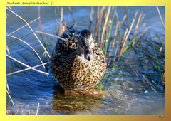Stockente (Anas platyrhynchos) ♀