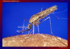 Fiebermücke (Anopheles spec.)