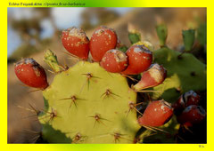 Echter Feigenkaktus (Opuntia ficus-barbarica)