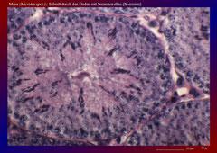Maus (Microtus spec.), Schnitt durch den Hoden mit Sammenzellen (Spermien)