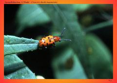 Spargelhähnchen, 12 Punkt (Crioceris duodecimpunctata)