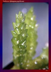 Torfmoos (Sphagnum papillosum)-ca. 20x