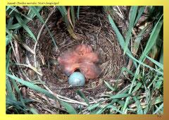 Amsel (Turdus merula) Nest+Jungvögel